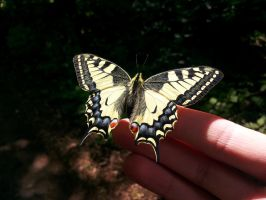 Papilio machaon (better version) by Solan7