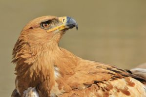 Tawny Eagle - African Wildlife - Power and Pride by LivingWild