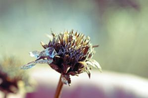 thistle by serealis