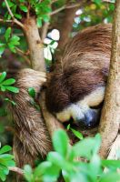 Three Toed Sloth by Prillicy