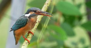 Common Kingfisher.0110 by DPasschier