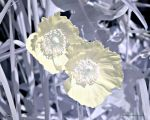 Visible/Infrared Flowers 1 by Okavanga