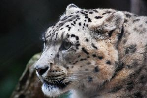 Snow Leopard 04 by DanielleMiner