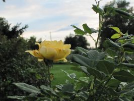 Yellow Rose by r-a-i-n-y