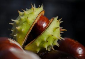 Fresh conkers by parsek76