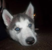 keeno the siberian husky by frodo2127