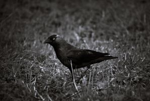 I like jackdaws by borderone