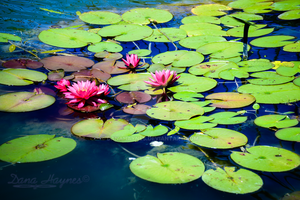 Water Lily | Stock Images by DanaHaynes