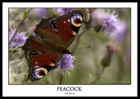 Peacock by THEDOC4