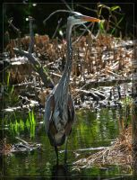 Great Blue Heron 20D0048509 by Cristian-M