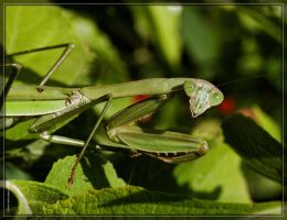 Chinese Mantis 20D0039012 by Cristian-M