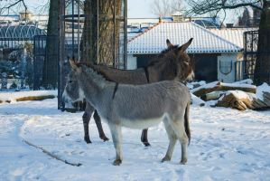 Two donkeys in the snow by steppelandstock