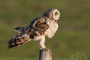The Short Eared Shake by thrumyeye