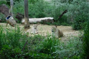 Lions by Jhadin