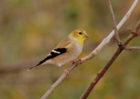 Little Goldie III by JMcCarty09