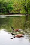 Canadian geese 2 by LucieG-Stock