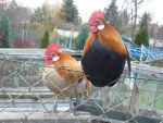 2 cute roosters. by only-Freak-by-nature