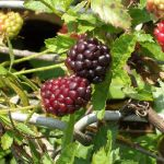 Brambleberries by 1389AD