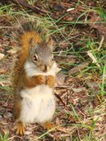 Red Squirrel two by MysticKnight38