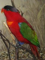 Purple-naped Lory 03 by animalphotos