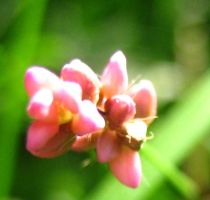 Little Pink Weed 2 by Holly6669666