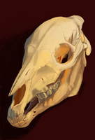 Skull Study 2 by Brainmatters