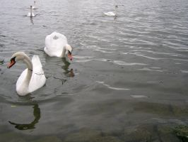 Animals - Swans 01 by Stock-gallery