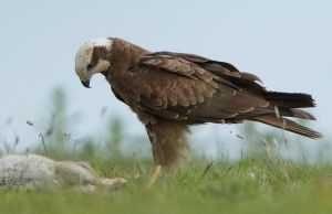 I hope it's dead - Marsh Harrier by Jamie-MacArthur