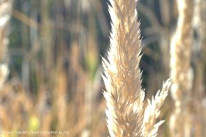 Golden Grasses by RaijuTheory