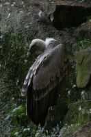 Griffon Vulture is hiding by Pattarchus