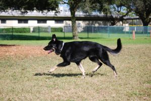 Black German Shepherd Trot by CompassLogicStock