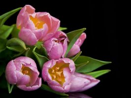 Tulips by katerinarut