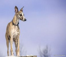 Tavi the whippet by embliss