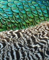 Stock Texture - Peacock Feathers duo by rockgem