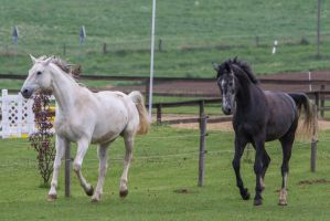 Grey Warmbloods Cantering on Pasture by LuDa-Stock