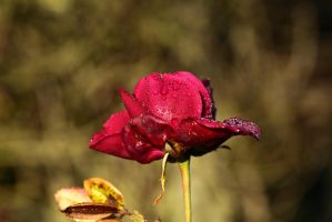 Red Rose by petmag