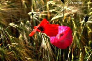 Mohnblume /  Poppy 2 by bluesgrass
