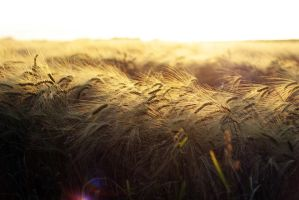 Sunset in the fields by violentdemeanour
