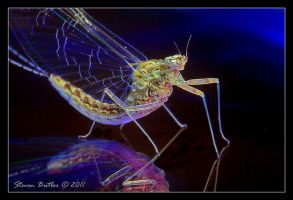 Mayfly by lasfe2g