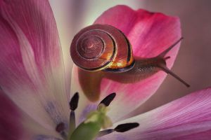 snail with tulip IV. by AdrianaKH-75