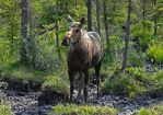 Moose Cow III by Track-Maidens
