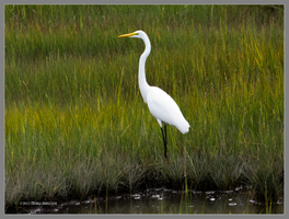 Egret in the Marsh by Mogrianne