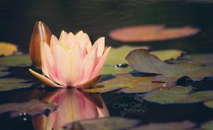 Water Lily by CandiceSmithPhoto