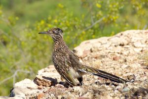 Roadrunner by amzimme