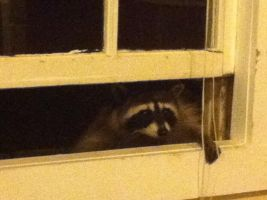 Raccoons! by 20after4