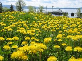 Dandelions by themapper