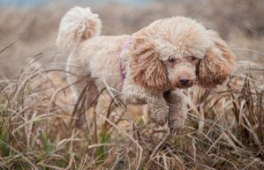 Chico- miniature poodle by aleksandrossa