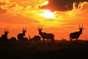 Red Hartebeest - Horned Sunset Silhouette by LivingWild