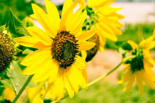 Sunflower-1-3 by anditosan