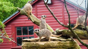 Marwell Meerkats by Sklarlight